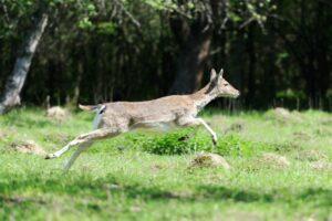 Deer in the natural environment